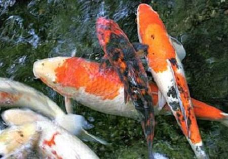 Vissen In Vijver : Vissen in de vijver: goudvissen koikarpers sarasa goudwinde