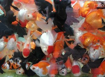 Vissen In Vijver : Vissen in de vijver goudvissen koikarpers sarasa goudwinde